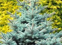 Świerk kłujący (Picea pungens), zwany srebrnym