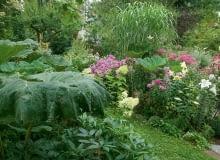 TMPONUJĄCE LIŚCIE LEPIĘŻNIKÓW są wspaniałym tłem dla kwitnących hortensji, floksów i lilii.