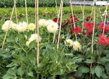 Wysokość podpór trzeba dostosować do rozmiarów, jakie osiąga dany gatunek, oraz do charakteru jego wzrostu. Mocnych zabezpieczeń wymagają pnącza - w ich wypadku montujemy je jeszcze przed posadzeniem młodych okazów bądź wysianiem nasion.