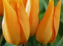 Tulipan Praestens Shogun. Rośliny cebulowe