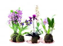 Katleja (Cattleya) ma kwiaty o średnicy od 3 do 15 cm. Drobnokwiatowe odmiany kwitną najdłużej (2-3 miesiące). Lubi wilgoć, zimuje w temp. 8-15°C. Brassia (Brassia) 'Painter Big Spider' kwitnie co roku, jeśli od września do grudnia w dzień stoi w temperaturze 18-22°C, a w nocy 13-15°C. Sabotek (Paphiopedilum) tworzy kwiaty o wysokości 30 cm, a ich dolny płatek ma kształt bucika. Po kwitnieniu rozetka liści zamiera, ale od razu rozwija się nowa. Zygopetalum (Zygopetalum) dorasta do pół metra wysokości. Ma pachnące kwiaty o średnicy do 9 cm. Nie lubi zraszania - często moczone liście gniją. Dendrobium szlachetne (Dendrobium nobile) i na młodych, ina starych pędach tworzy obfitość kwiatów, jeżeli od czerwca do października stoi pod 'chmurką', aod września jest też chronione przed deszczem.