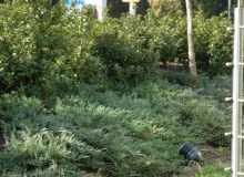Jałowiec płożący (Juniperus horizontalis) 'Andorra Compact'