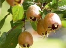 Rdzawozłote owoce nieszpułki zachwyciły swoją urodą holenderskiego malarza XVII wieku Adriaena Coorte.