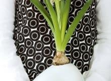 Efektowne zestawienie: biały hiacynt wnaczyniu zbiałego szkła. Cebula wspiera się na brzegu, korzenie są lekko zanurzone wwodzie.