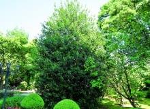 Regularnie przycinane okazy ostrokrzewu kolczastego przez cały rok zdobią parki i ogrody zwartym efektownym pokrojem ibarwami listków.