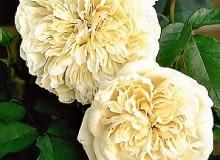 Róże. Róża 'Sombreuil' o kremowych kwiatach należy do najstarszych klimbingów.