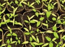Choroby siewek atakują masowo różne rośliny. Sprzyja im wysoka wilgotność i temperatura powyżej 15°C. Do infekcji dochodzi w ziemi ogrodowej i w pojemnikach.