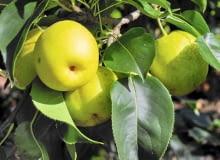 Owoce gruszy japońskiej przypominają kształtem jabłka