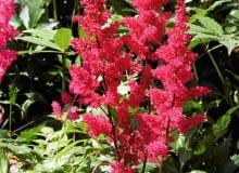 Drobne, zebrane w wiechy kwiaty w sprzyjających warunkach mogą kwitnąć nawet 4 tygodnie.