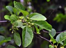 LATO: Po zapyleniu słupki pęcznieją i powstają z nich kuliste, początkowo zielone owoce.