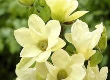 Magnolia denudata Fei Huang
