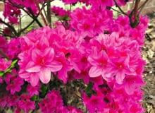 Różaneczniki i azalie. Ten urodziwy krzew to odmiana 'Amarant', która została wyhodowana w szkółce państwa Doroty i Sylwestra Tomszaków