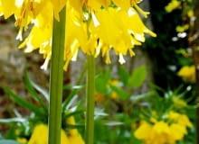 Szachownica Lutea. Kwiaty cebulowe