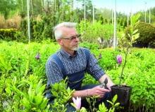 Okazy magnolii sprzedawane w szkółkach mają zazwyczaj wysokość 40-50 cm i 2-3 pędy boczne. Wstępnie skraca się im zbyt długie przyrosty.