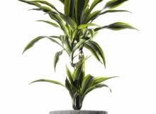 Dracena wonna występuje w kilku atrakcyjnych odmianach o barwnych liściach.