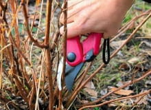 Cięcia sanitarne polegają na usuwaniu pędów suchych, przemarzniętych lub porażonych przez chorobę wykonujemy u wszystkich gatunków hortensji, także tych nietolerujących wiosennego przycinania odmładzającego.