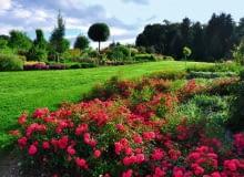ROZLEGŁYM RABATOM z bylin i krzewów towarzyszą róże okrywowe, które kwitną aż do mrozów.