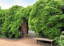 """AKTINIDIA OSTROLISTNA rośnie bardzo silnie, nawet do 8 m długości. Puszczona """"na żywioł"""" szybko okrywa podporę gęstwiną zieleni."""