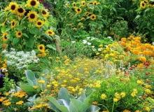 Sommerblumenbeet mit einjhrigen Sommerblumen (helianthus annuus) wie Sonnenblumen und Studentenblumen (tagetes) in Gelbtnen.