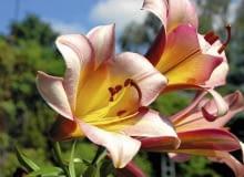 Trompeten Lilien, Trumpet Lilies, Lilie trąbkowe Colour: pink , różowy SLOWA KLUCZOWE: Trompeten Lilien, Trumpet Lilies, Lilie trąbkowe Lilium Pink Perfection