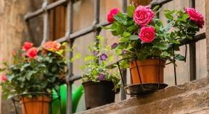 Róża na balkonie