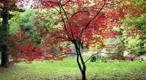 KLONY PALMOWE mają ażurowe, lekkie korony, a jesienią ich liście pięknie się przebarwiają.