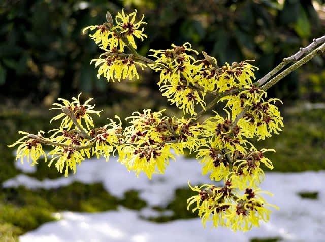 Oczar Kwiat Kwitnacy Zima Ladny Dom Ogrod