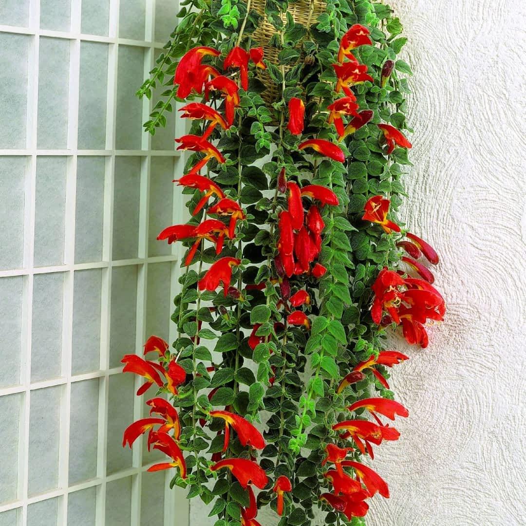 Kolumnea Kwiat Doniczkowy E Ogrody Rosliny Doniczkowe