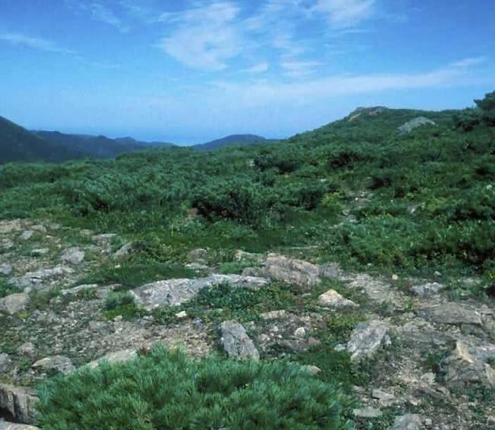 Encyklopedia roślin: Sosna karlowa  Pinus pumila