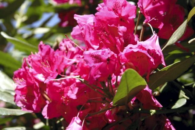 Encyklopedia roślin: Rozanecznik  Nova zembla