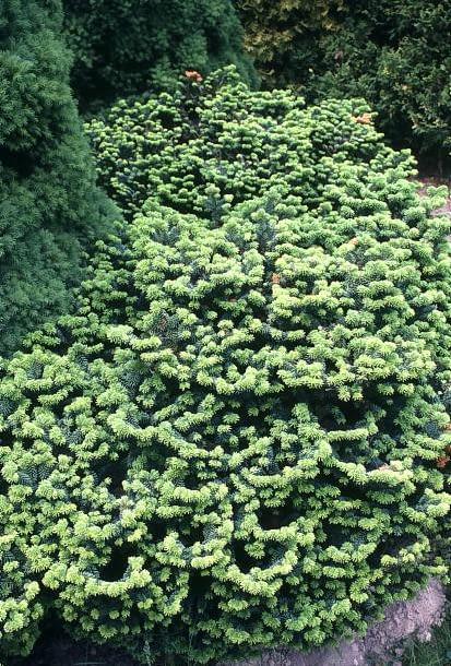 Encyklopedia roślin: Jodla balsamiczna  Abies balsamea   Nana