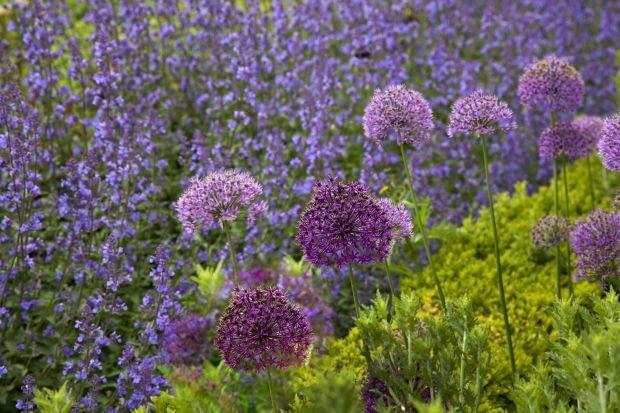 Encyklopedia roślin: Kocimietka i czosnki ozdobne o duzych kwiatostanac