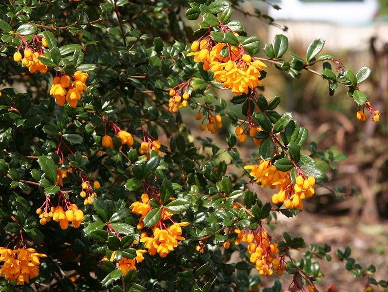 Encyklopedia roślin: berberys Darwina  Berberis darwinii  ma zolte lub