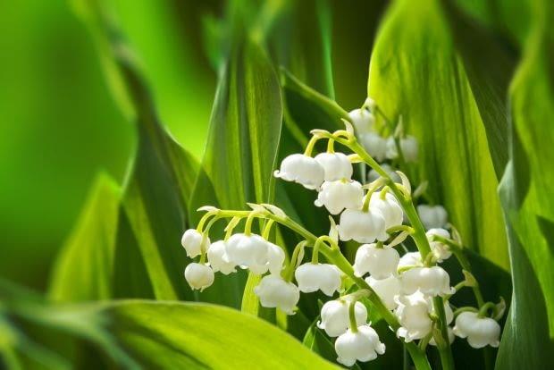 Encyklopedia roślin: konwalia