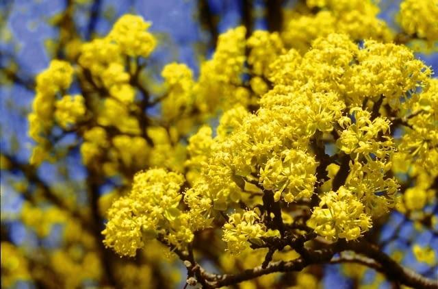 Encyklopedia roślin: Deren jadalny  Krzewy ozdobne