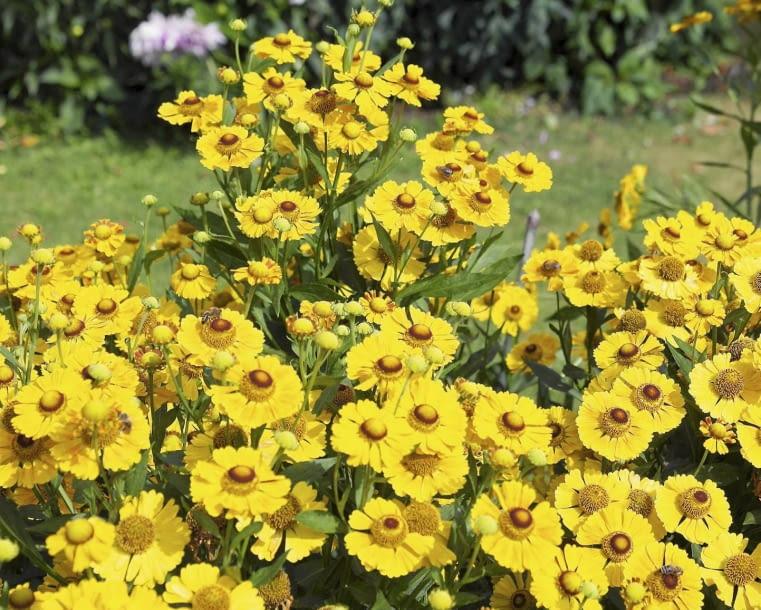 Encyklopedia roślin: Dzielzan jesienny  Helenium autumnale   Wonadonga
