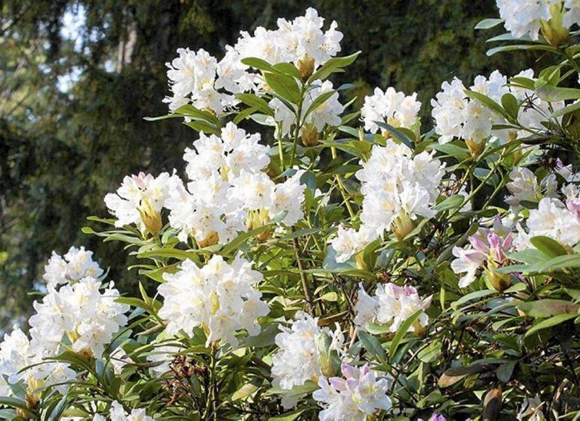 Encyklopedia roślin: Rozanecznik  Rhododendron   Cunnikgham s white