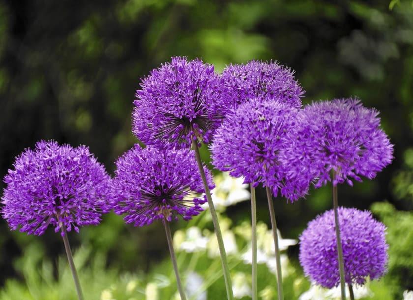 Encyklopedia roślin: czosnek