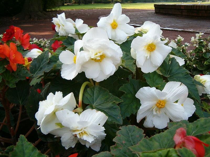Encyklopedia roślin: Begonia bulwiasta  Begonia tuberhybrida