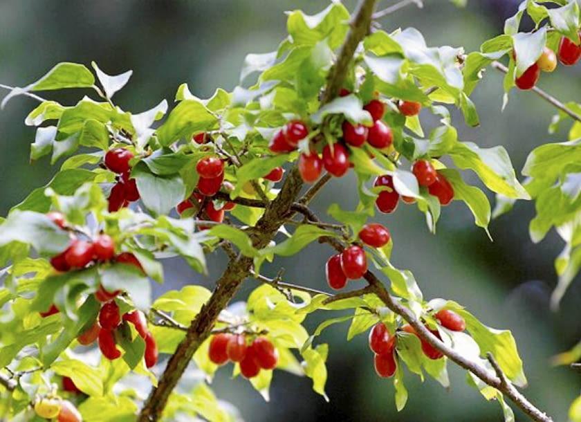 Encyklopedia roślin: Deren jadalny