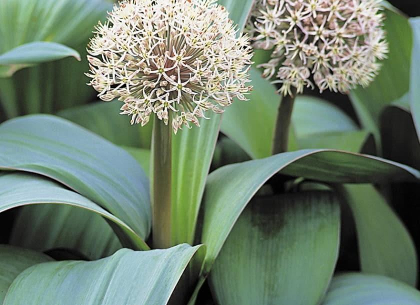 Encyklopedia roślin: Czosnek karatawski  Allium karataviense