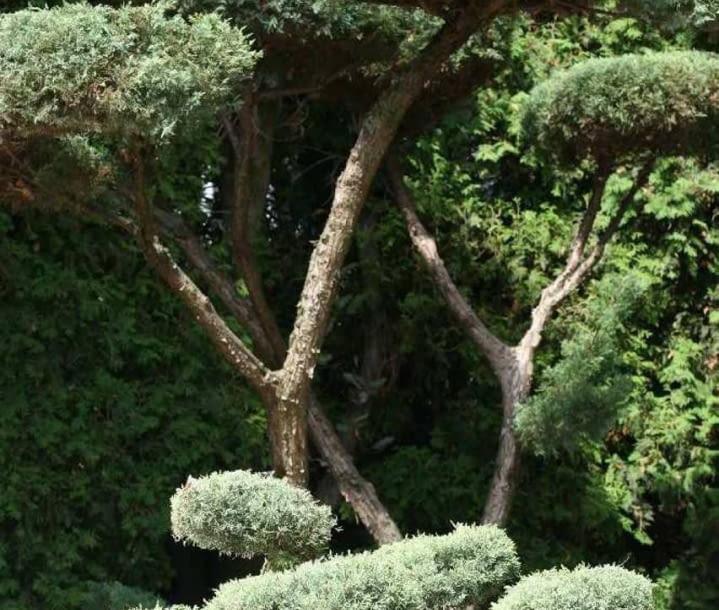 Encyklopedia roślin: Jalowiec wirginijski  Juniperus virginiana