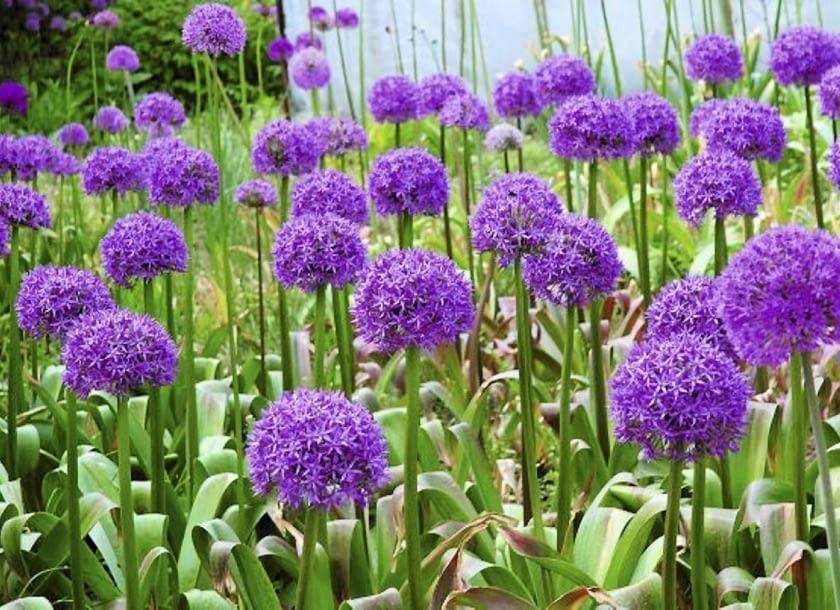 Encyklopedia roślin: Kwiaty cebulowe  Czosnki ozdobne kwitna pozna wios