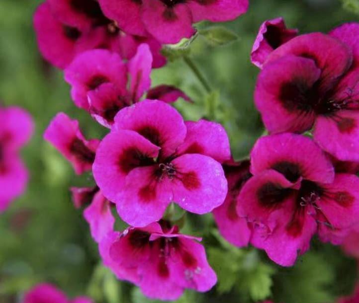 Encyklopedia roślin: Pelargonia wielkokwiatowa inaczej angielska  Arist