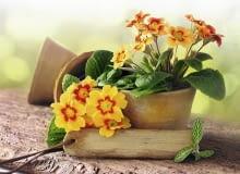 Encyklopedia roślin: Pierwiosnkom  ktore maja stac na zewnatrz pojedync