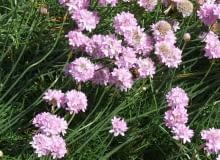 Encyklopedia roślin: Zawciag szerokolistny  Armeria pseudarmeria