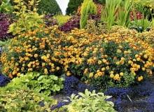 Encyklopedia roślin: chryzantemy