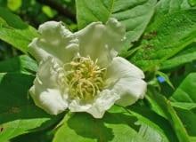 Encyklopedia roślin: Nieszpulka