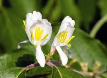 Encyklopedia roślin: KWIATY JAGODY KAMCZACKIEJ rozwijaja sie zwykle na