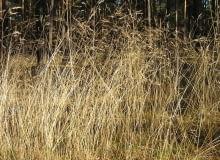 Encyklopedia roślin: Smialek pogiety